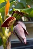 Фантастическая сложность орнаментального цветка завода банана стоковое фото