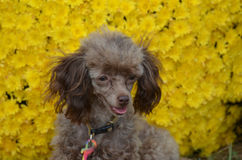 Фантастическая собака пуделя игрушки Брайна Стоковое Фото