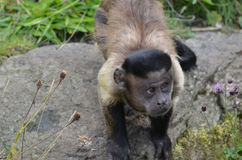 Фантастическая Tufted обезьяна Capuchin смотря вверх на небе Стоковое Изображение