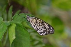 Фантастический захват бумажной бабочки змея на лист Стоковое Изображение RF
