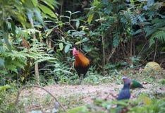 Фантастический зверь и где найти они - gallus Gallus/красное junglefowl стоковое изображение rf