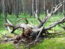 Фантастичный выхват в солнечном сосновом лесе стоковая фотография rf