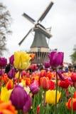 Фантастичный ландшафт ветра и тюльпанов мельницы в Голландии Стоковая Фотография RF