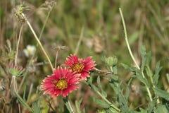 Фантастичный солнцецвет Стоковое Фото