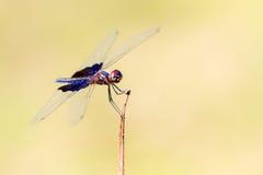 Фантомное Flutterer Стоковые Фотографии RF