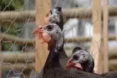 Фараон каплуна цыпленка Стоковая Фотография