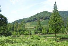 фарфор fields зеленый чай Стоковые Изображения RF