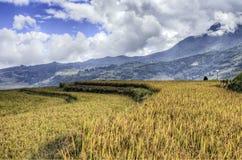 фарфор fields золотистый рис Стоковая Фотография RF