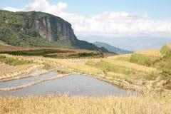 фарфор fields золотистый рис Стоковые Фото