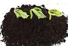 фасоли прорастать съемка семян стоковое фото