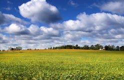 фасоль fields соя Стоковая Фотография RF