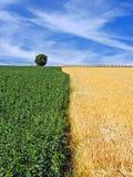 Фасоли и поля ячменя под драматическим небом Стоковая Фотография
