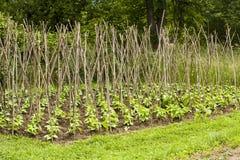 Фасоли на деревянных поляках Стоковое Фото