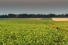 Фасоли поля Стоковая Фотография RF
