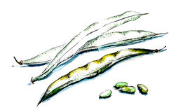 фасоли свежие Стоковое Изображение RF