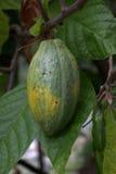 Фасоль какао в Индонезии Стоковая Фотография RF