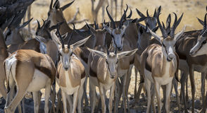 Фауна африканца Стоковая Фотография