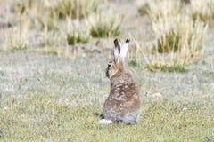 Фауна Тибета Тибетское курчавое oiostolus Lepus зайцев на береге озера Manasarovar Стоковые Изображения