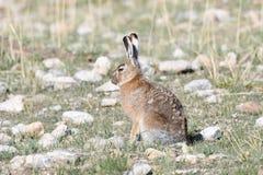 Фауна Тибета Тибетское курчавое oiostolus Lepus зайцев на береге озера Manasarovar Стоковая Фотография RF