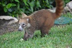 Фауна экзотический Юкатан тропическая Мексика животных коати Стоковое Фото