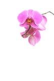 Фаленопсис белизна орхидеи предпосылки пурпуровая Стоковое фото RF
