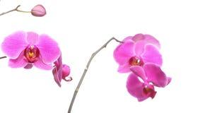 Фаленопсис белизна орхидеи предпосылки пурпуровая Стоковые Изображения RF