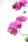 Фаленопсис белизна орхидеи предпосылки пурпуровая Стоковое Фото