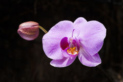 Фаленопсис орхидеи Стоковое фото RF