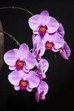 Фаленопсис орхидеи Стоковая Фотография RF