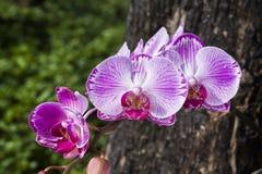 Фаленопсис орхидеи Стоковое Изображение RF