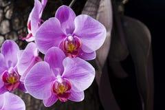 Фаленопсис орхидеи Стоковая Фотография
