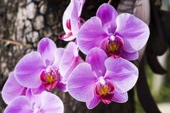 Фаленопсис орхидеи Стоковые Фото