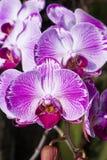 Фаленопсис орхидеи Стоковое Фото