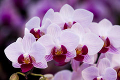 Фаленопсис орхидеи Стоковые Фотографии RF