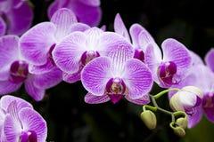 Фаленопсис орхидеи Стоковые Изображения RF