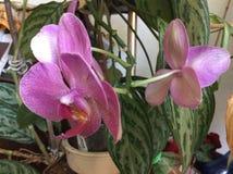 Фаленопсис - орхидея сумеречницы Стоковые Изображения RF