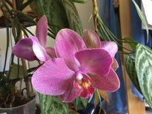 Фаленопсис - орхидея сумеречницы Стоковые Изображения