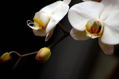 Фаленопсис-темная орхидея Стоковое Изображение RF