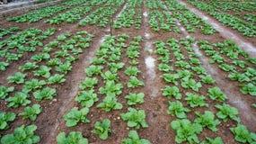 18, февраль 2017 - ферма китайской капусты в Dalat- Lamdong, Вьетнаме Стоковая Фотография