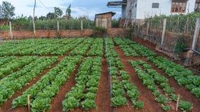 10, февраль Фермеры 2017 Dalat- Dalat засаживают капусты в DonDuong- Lamdong, Вьетнаме Стоковые Изображения RF