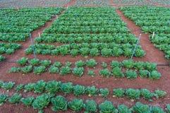 10, февраль Фермеры 2017 Dalat- Dalat засаживают капусты в DonDuong- Lamdong, Вьетнаме Стоковые Изображения
