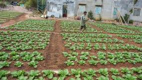 18, февраль 2017 - фермер позаботится о ферма китайской капусты в Dalat- Lamdong, Вьетнаме Стоковое Изображение