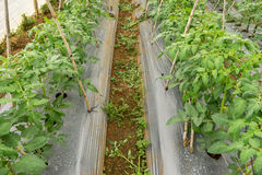 22, февраль 2017 Dalat- заводы томата в зеленом доме, свежие томаты, строка томата Стоковые Изображения