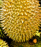Федерирование тайского дуриана. Стоковое Фото