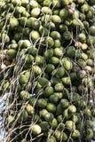 Феникс dactylifera или финиковая пальма Стоковое Изображение