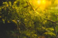Фенхель в саде Стоковое Фото