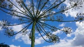 Фенхель (vulgare фенхеля) Стоковое Фото