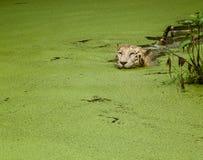 Ферзь в ее бассейне Стоковая Фотография RF