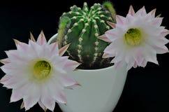Ферзь кактуса ночи с цветениями Стоковое Изображение