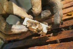 ферзь пчелы сопровождающих лиц Стоковые Изображения